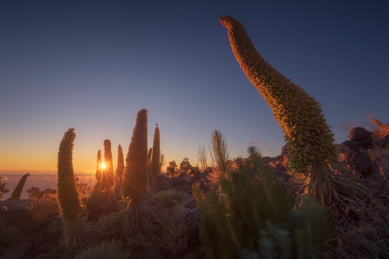 Tajinaste La Palma